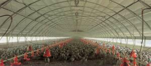SKA: Galpón Tipo Túnel para pollos