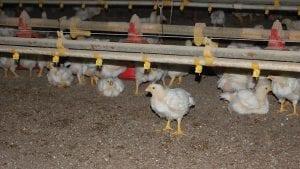 ¿Mejoran la salud humana las aves que nunca reciben antibióticos?