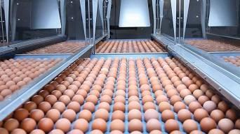 Sanovo clasificadora de huevos STAALKAT Ardenta