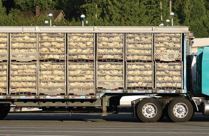 Estrago en avícolas brasileñas por huelga transportista