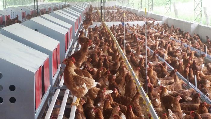 El galimatías de los huevos libres de jaula en Colombia