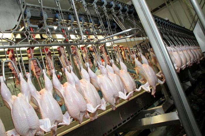 Incidencia del sacrificio en mejor calidad de la carne de pollo