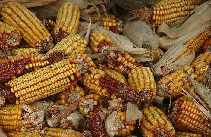 Más hectáreas para maíz amarillo duro en Colombia