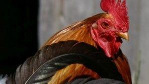 México: 22 brotes de influenza aviar en cuatro meses