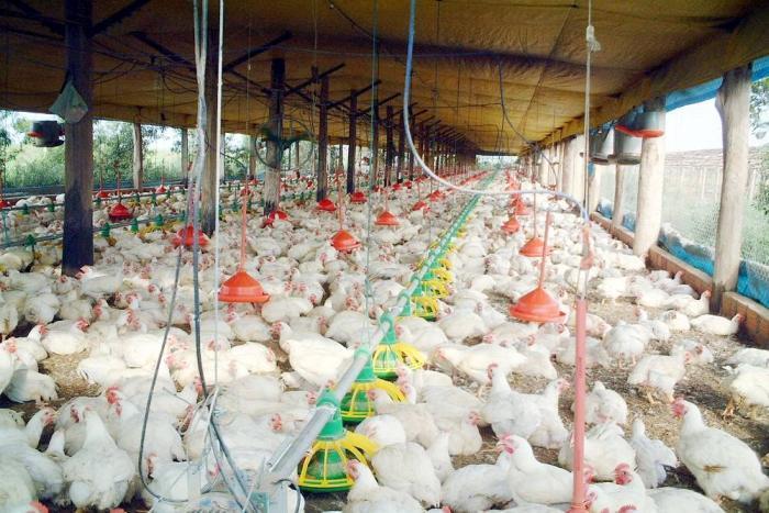Avícolas colombianas siguen padeciendo por paro agrario
