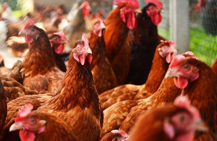 Avícola Jocef: de huevos embrionados a avicultura familiar