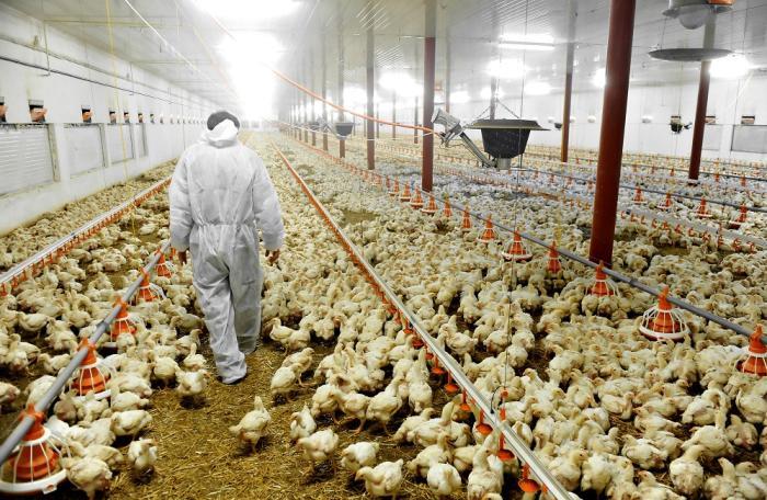 Quindío: 95 por ciento de granjas avícolas certificadas
