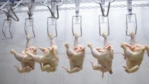 Estrenarán seguro avícola este trimestre en Costa Rica