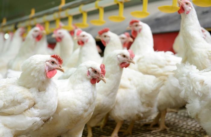 Crece la producción de alimentos balanceados sin antibióticos