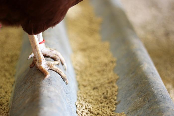 Cómo mejorar la dieta para pollos libres de antibióticos