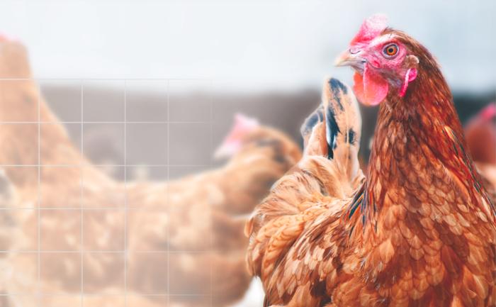 Nutrido crecimiento avícola en Latinoamérica en 2017