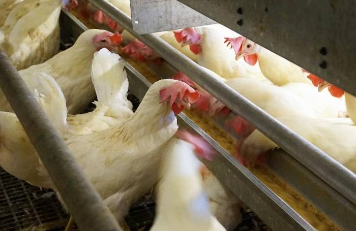 Huevo 'maldito': animalistas lo ponen y la prensa lo come