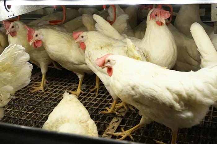 La Castellana, marca de Coliumo para huevos libres
