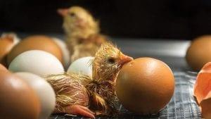 Sexaje industrial en huevo, ¿qué tan cerca estamos?