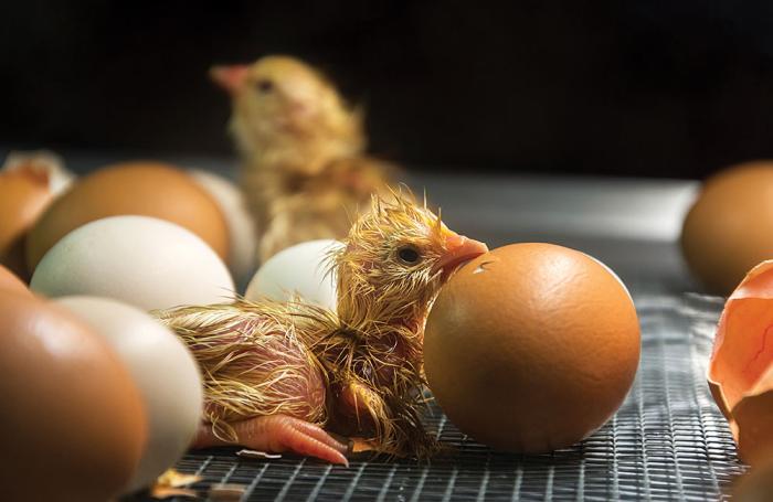 Argentina: nuevas normas para importar genética aviar