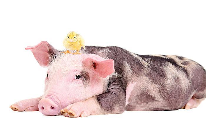 ¿Qué sale de mezclar un pollo con un cerdo?