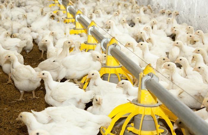 Bajan exportaciones de pollo de Brasil en octubre