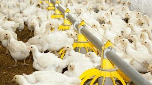 ¿Cómo la tecnología afectará la producción de alimentos avícolas?