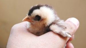 Un avicultor convencido del bienestar animal