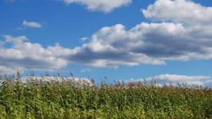 Noelma integrará el cultivo de maíz a su producción