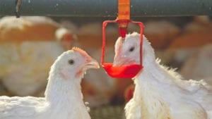Manejo de la enteritis necrótica en pollos sin antibióticos
