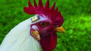 4 perspectivas avícolas sobre bioestadística y 'big data'