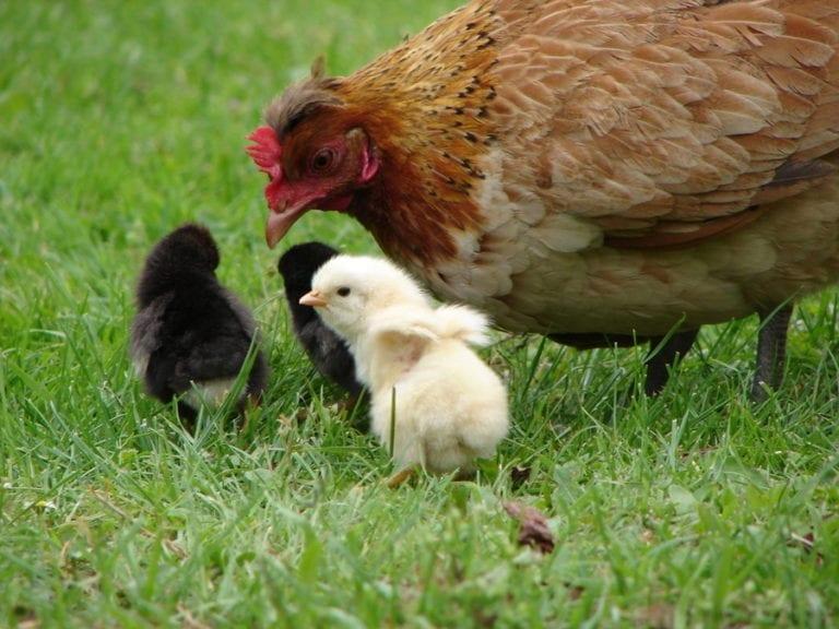 Mamá gallina podría oler también a productividad