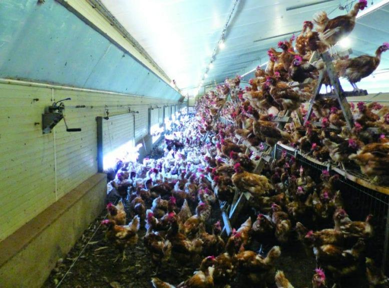 Huevos tradicionales y 'free-range' en la misma granja