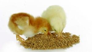 Función intestinal óptima, clave del desempeño avícola