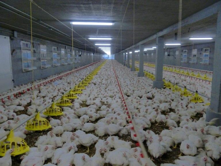 El manejo avícola no es importante sin datos