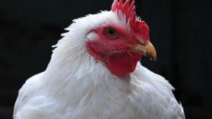 Por la PPA, el pollo es la principal proteína mundial