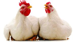 Los 10 artículos avícolas más leídos de noviembre 2020