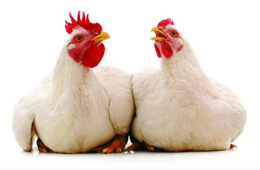 Animalistas y su cátedra económica al negocio avícola