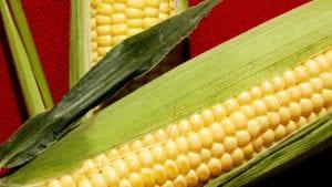 Colombia: estudian quitar aranceles al maíz y la soya