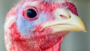 Los 13 mayores productores de pavo en Latinoamérica