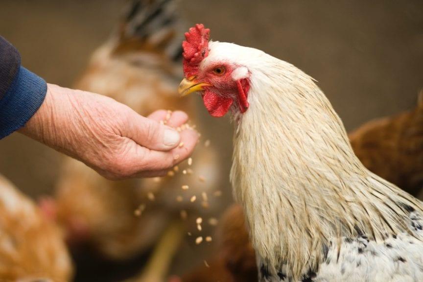 Ni pollos ni gallinas son susceptibles al SARS CoV-2