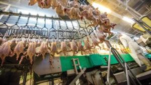 Cómo mejorar el aturdimiento en el procesamiento de pollos