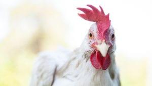 Análisis de plumas en crecimiento ayudaría con tratamientos avícolas